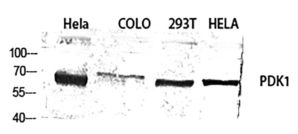 Fig.1. Western Blot analysis of Hela (1), Colo (2), 293T (3), Hela (4), diluted at 1:1000.