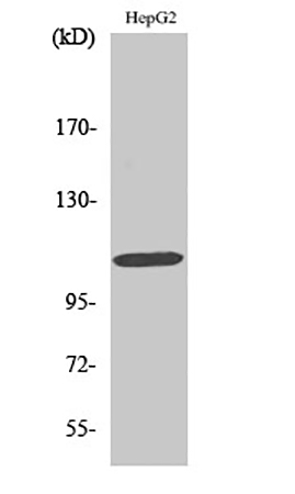 Fig.1. Western Blot analysis of various cells using Rb 多克隆 Antibody diluted at 1:1000.