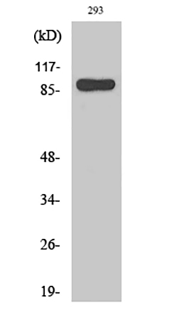 Fig.1. Western Blot analysis of various cells using Stat1 Polyclonal Antibody diluted at 1:2000.