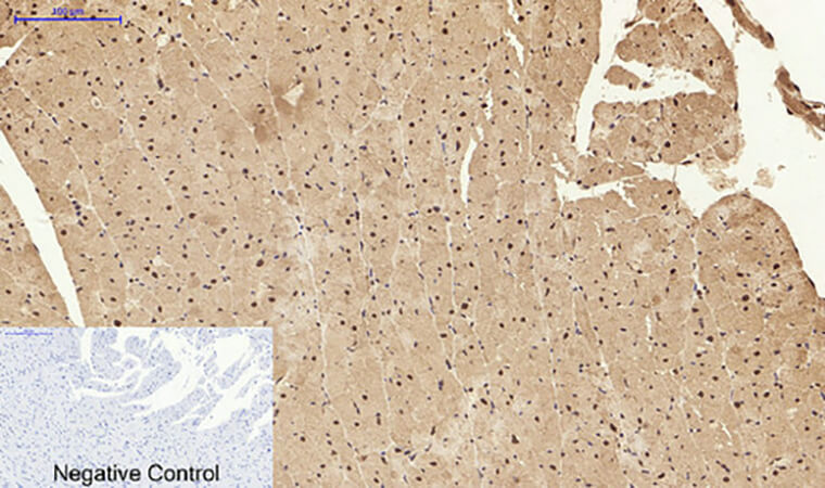 Fig.5. Immunohistochemical analysis of paraffin-embedded rat heart tissue. 1, Stat1 Polyclonal Antibody was diluted at 1:200 (4°C, overnight). 2, Sodium citrate pH 6.0 was used for antibody retrieval (>98°C, 20min). 3, secondary antibody was diluted at 1:200 (room temperature, 30min). Negative control was used by secondary antibody only.