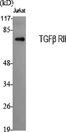 Fig.1. Western Blot analysis of various cells using TGFβ RII 多克隆 Antibody diluted at 1:2000.