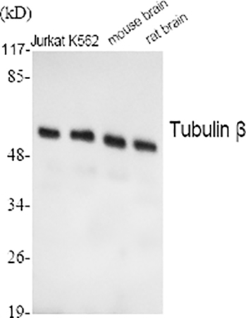 Fig.1. Western Blot analysis of Jurkat (1, K562 (2, mouse brain (3, rat brain (4, diluted at 1:2000.