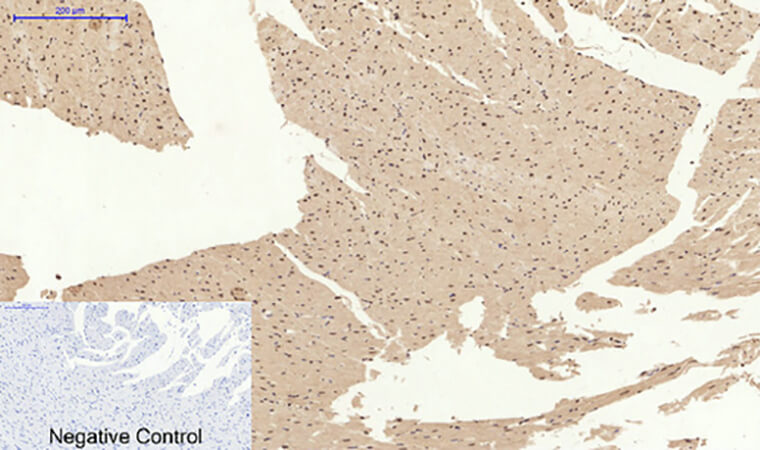 Fig.5. Immunohistochemical analysis of paraffin-embedded rat heart tissue. 1, Caspase-3 多克隆 Antibody was diluted at 1:200 (4°C, overnight). 2, Sodium citrate pH 6.0 was used for antibody retrieval (>98°C, 20min). 3, secondary antibody was diluted at 1:200 (room temperature, 30min). Negative control was used by secondary antibody only.