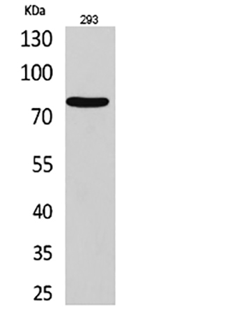 Fig.1. Western Blot analysis of 293 cells using Bcl-6 多克隆 Antibody. Antibody was diluted at 1:1000.