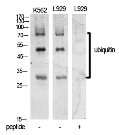 Fig.1. Western Blot analysis of K562 (1, L929 (2, L929 (3).