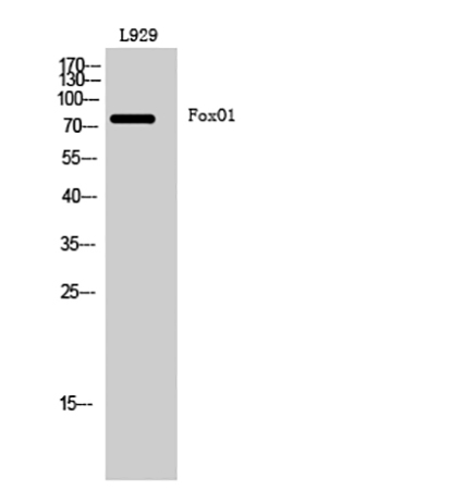 Fig.1. Western Blot analysis of L929 cells using FoxO1 多克隆 Antibody diluted at 1:1000.