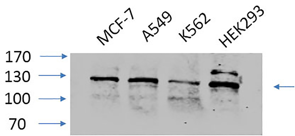 Fig.3. Western Blot analysis of MCF-7 (1, A549 (2, K562 (3, HEK293 (4, diluted at 1:1000.