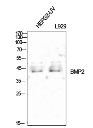 Fig.1. Western Blot analysis of HEPG2-UV (1, L929 (2, diluted at 1:1000.