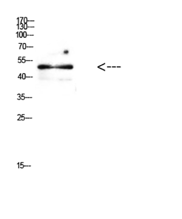 Fig.3. Western Blot analysis of mouse brain cells using Antibody diluted at 1:500.