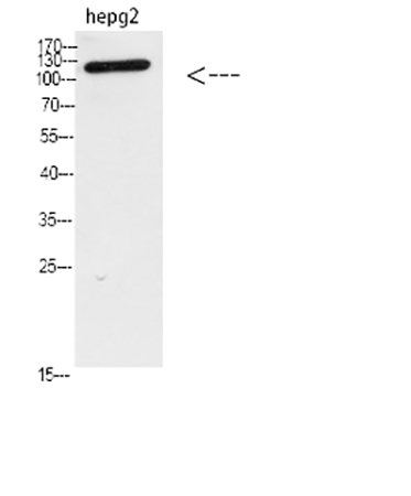 Fig.2. Western blot analysis of hepg2 Cell Lysate, antibody was diluted at 1:1000. secondary antibody was diluted at 1:20000.
