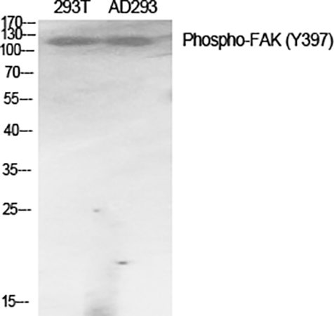 Fig.1. Western Blot analysis of 293T(1, AD293(2, diluted at 1:1000.