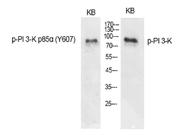 Fig.1. Western Blot analysis of various cells using Phospho-PI 3-kinase p85α (Y607) Polyclonal Antibody diluted at 1:1000.