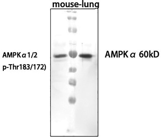 Fig.2. Western Blot analysis of mouse lung cells using primary antibody diluted at 1:1000 (4°C overnight).