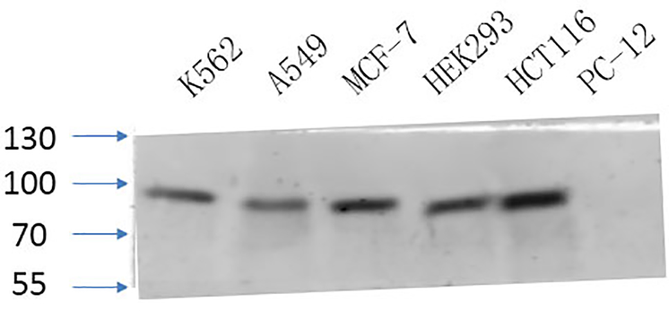 Fig.4. Western Blot analysis of K562 (1, A549 (2, MCF-7 (3, HEK293 (4, HCT116 (5, PC-12 (6,  diluted at 1:1000.