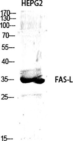 Fig.1. Western Blot analysis of various cells using FAS-L Polyclonal Antibody diluted at 1:1000.