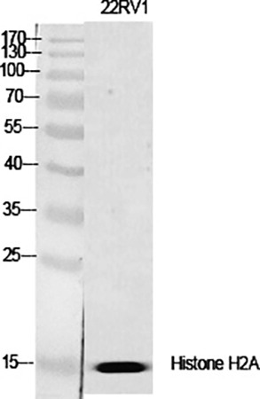 Fig.1. Western Blot analysis of various cells using Histone H2A.X Polyclonal Antibody diluted at 1:2000.