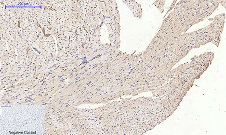 Fig.4. Immunohistochemical analysis of paraffin-embedded mouse heart tissue. 1, MIF Polyclonal Antibody was diluted at 1:200 (4°C, overnight). 2, Sodium citrate pH 6.0 was used for antibody retrieval (>98°C, 20min). 3, secondary antibody was diluted at 1:200 (room temperature, 30min). Negative control was used by secondary antibody only.