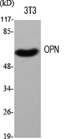 Fig.1. Western Blot analysis of various cells using OPN Polyclonal Antibody diluted at 1:500.