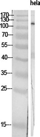 Fig.1. Western Blot analysis of various cells using PI 3-kinase p110α Polyclonal Antibody diluted at 1:2000.