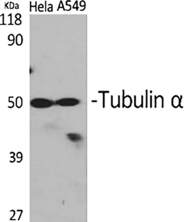 Fig.1. Western Blot analysis of Hela (1, A549 (2, diluted at 1:2000.