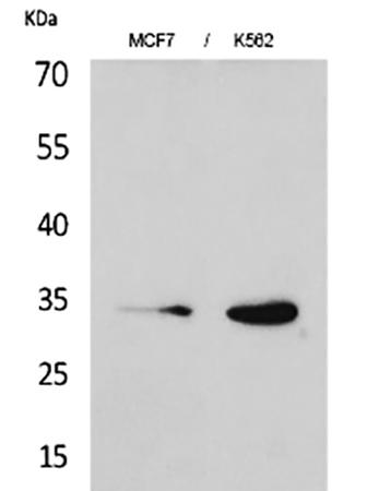 Fig.1. Western Blot analysis of MCF7 (1), K562 (2).