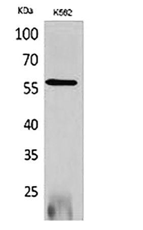 Fig.1. Western Blot analysis of K562 cells using RUNX2 Polyclonal Antibody.