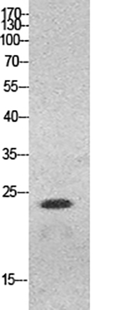 Fig.1. Western Blot analysis of HeLa cells using HMG-1 Polyclonal Antibody. Antibody was diluted at 1:500.