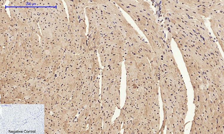Fig.4. Immunohistochemical analysis of paraffin-embedded mouse heart tissue. 1, HMG-1 Polyclonal Antibody was diluted at 1:200 (4°C, overnight). 2, Sodium citrate pH 6.0 was used for antibody retrieval (>98°C, 20min). 3, secondary antibody was diluted at 1:200 (room temperature, 30min). Negative control was used by secondary antibody only.