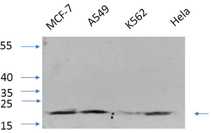 Fig.6. Western Blot analysis of MCF-7 (1), A549 (2), K562 (3), Hela (4), diluted at 1:1000.