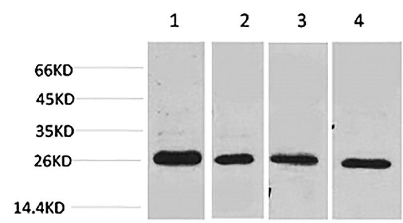Fig.2. Western blot analysis of 1) MCF7, 2) Mouse Heart tissue, 3) Rat Heart tissue, 4) rat brain tissue using SLUG Polyclonal Antibody.