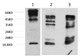 Fig.1. Western blot analysis of 1) Hela, 2) Rat Testis tissue, 3) Raw264.7, diluted at 1:2000.
