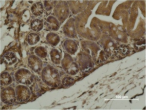 Fig.2. Immunohistochemical analysis of paraffin-embedded Mouse Cecal Tissue using α-SMA Monoclonal Antibody.