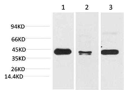 Fig. Western blot analysis of 1) Hela, 2) Mouse Brain Tissue, 3) Rat Brain Tissue with TBP/TATA Binding Protein Mouse mAb diluted at 1:2000.