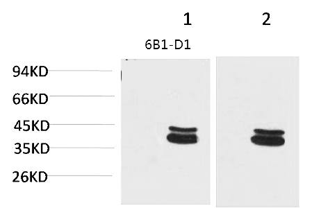 Fig.1. Western blot analysis of 1) Mouse Brain Tissue, 2) Rat Brain Tissue with P44/42 MAPK (ERK1/2) Mouse mAb diluted at 1:2000.