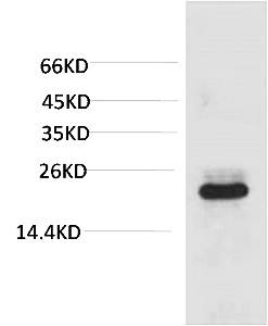 Fig. Western blot analysis of 293T with HSPB8/HSP22 Mouse mAb diluted at 1:2000.