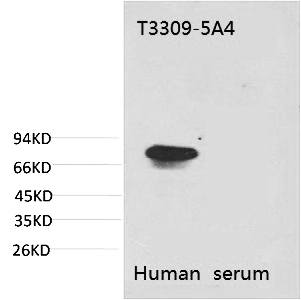 Fig. Western blot analysis of Human Serum with Transferrin Mouse mAb diluted at 1:2000.