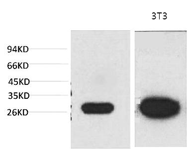 Fig.1. Western blot analysis of 1) MCF7, 2) 3T3 with Galectin-3 Mouse mAb diluted at 1:2000.