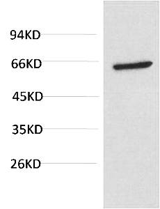 Fig.3. Western blot analysis of PC3 Cell Lysate using Akt Mouse mAb diluted at 1:1000.