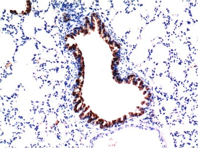Fig.1. Immunohistochemical analysis of paraffin-embedded Mouse Liver Tissue using Caspase-3 Mouse mAb diluted at 1:200.