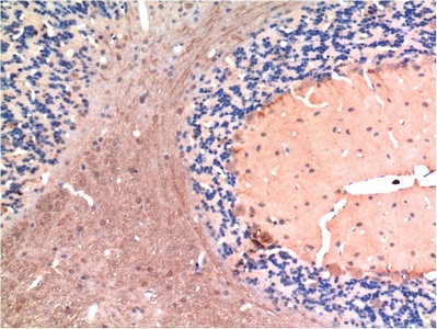 Fig.2. Immunohistochemical analysis of paraffin-embedded Rat Brain Tissue using TGFβ1 Mouse mAb diluted at 1:200.