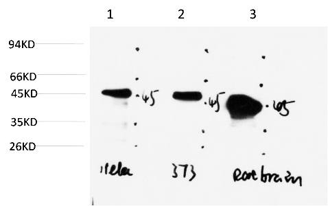 Fig.3. Western blot analysis of 1) Hela Cell Lysate, 2) 3T3 Cell Lysate, 3) Rat Brain Tissue Lysate using GSK3β Mouse mAb diluted at 1:1000.