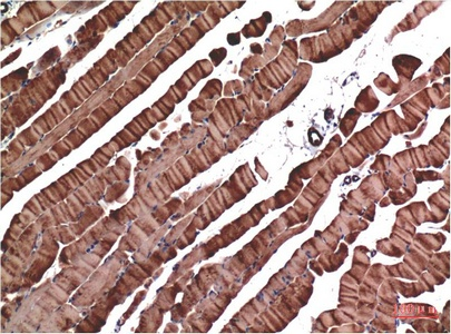 Fig.3. Immunohistochemical analysis of paraffin-embedded Mouse Skeletal Muscle Tissue using Muscle Actin Mouse mAb diluted at 1:200.