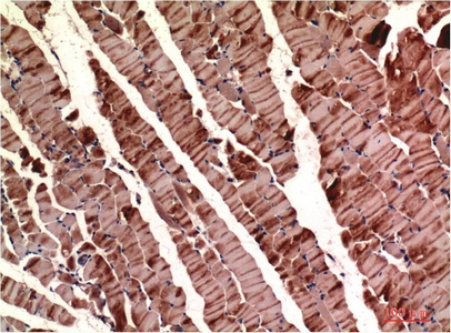 Fig.1. Immunohistochemical analysis of paraffin-embedded Mouse Skeletal Muscle Tissue using Muscle Actin Mouse mAb diluted at 1:200.