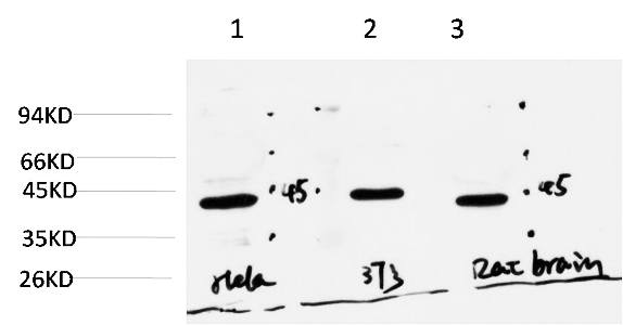 Fig.3. Western blot analysis of 1) Hela Cell Lysate, 2) 3T3 Cell Lysate, 3) Rat Brain Tissue Lysate using Muscle Actin Mouse mAb diluted at 1:1000.