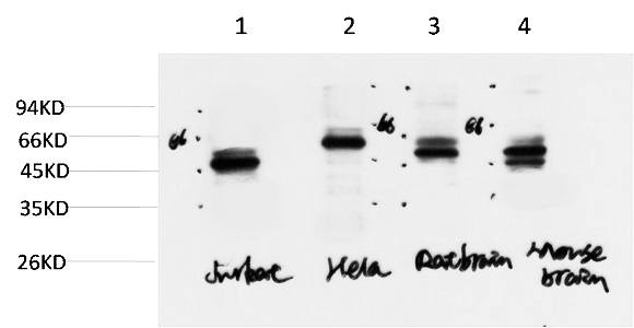 Fig.3. Western blot analysis of 1) Jurkat Cell Lysate, 2) Hela Cell Lysate, 3) Rat Brain Tissue Lysate, 4) Mouse Brain Tissue Lysate using Gamma Tubulin Mouse mAb diluted at 1:2000.