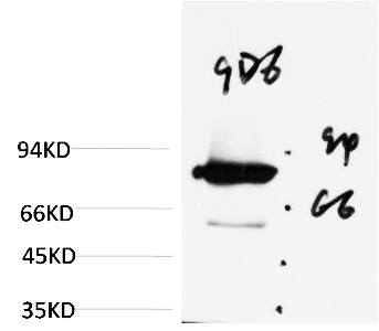 Fig. Western blot analysis of Firefly Luciferase Transfected Hela Cell Lysate using Luciferase Mouse mAb diluted at 1:2000.