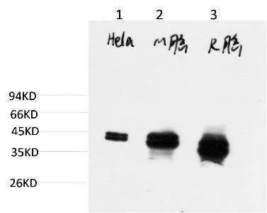 Fig.3. Western blot analysis of 1) Hela Cell Lysate, 2) Mouse Brain Tissue Lysate, 3) Rat Brain Tissue Lysate using ERK1/2 Mouse mAb diluted at 1:2000.