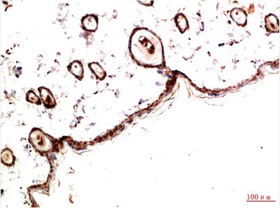 Fig.1. Immunohistochemical analysis of paraffin-embedded Rat Skin Tissue using PDGFR a Mouse mAb diluted at 1:200.