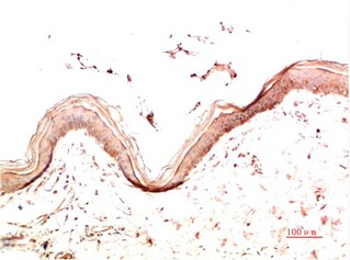 Fig.2. Immunohistochemical analysis of paraffin-embedded Human Skin Tissue using Collagen IV Mouse mAb diluted at 1:200.