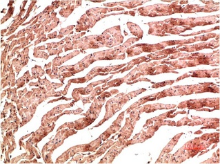 Fig.1. Immunohistochemical analysis of paraffin-embedded Rat Heart Tissue using VE-Cadherin Mouse mAb diluted at 1:200.